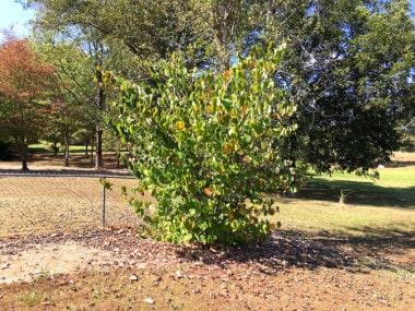 American redbud in North Alabama