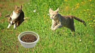 cats running toward a bowl of dry cat food