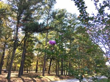 crapemyrtle bloom in October in North Alabama