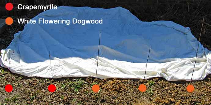 Crapemyrtle ( Lagerstroemia indica) and White Flowering Dogwood (Cornus florida)