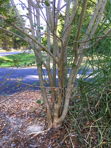 a crapemyrtle tree trunk that was pruned at an early age