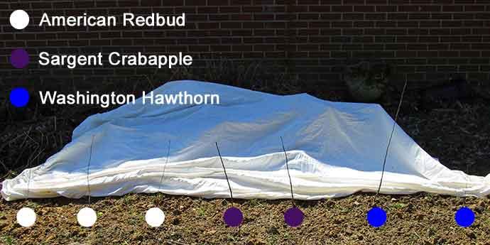 American Redbud (Cercis Canadensis), Sargent Crabapple (Malus sargentii), and Washington Hawthorn (Crataegus phaenopyrum)