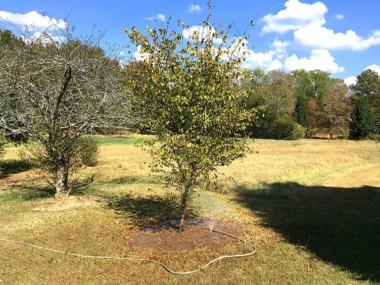 Washington Hawthorn in North Alabama